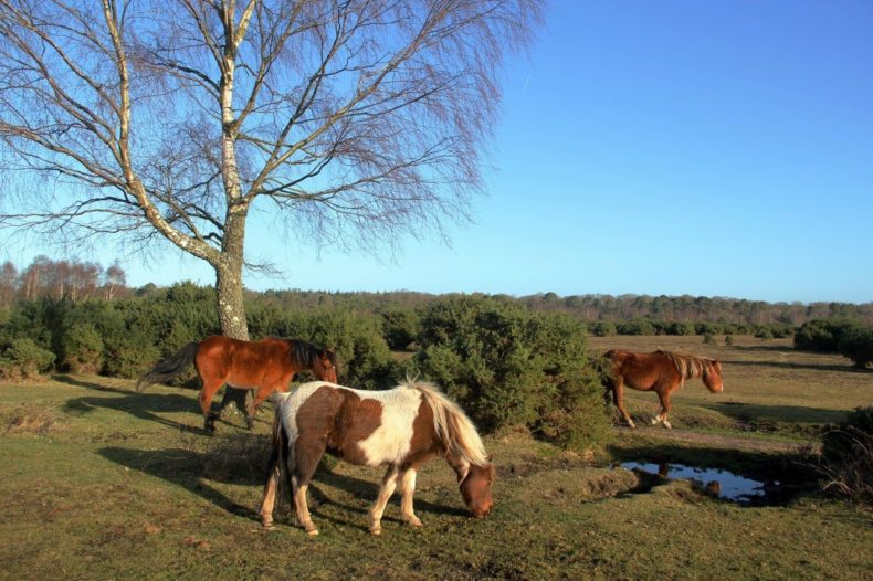 Wilde paarden in New Forest National Park