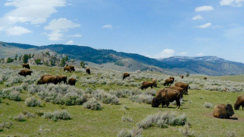 Bisons in Yellowstone National Park