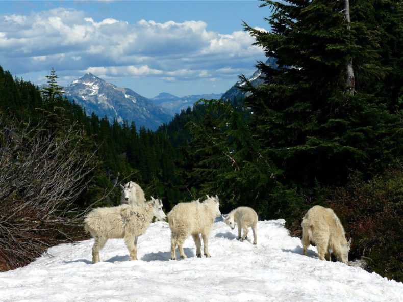 Mountain Goats Northern Cascades