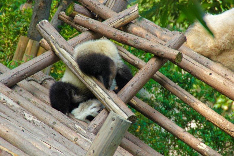 China-Chengdu-clumsy-panda