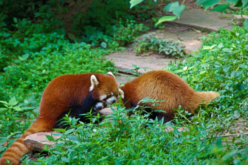 China-Chengdu-Red-Panda