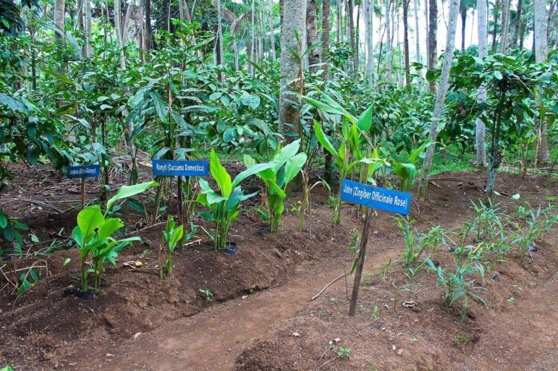 Indonesia-Java-Harnik-plantation-herbs