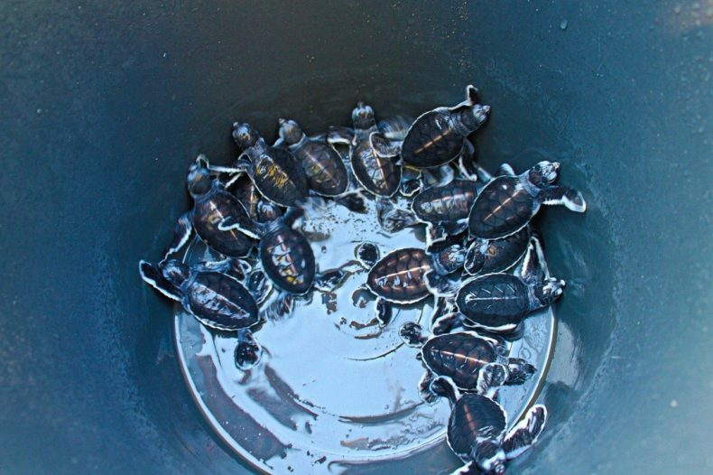 Indonesia-Java-Sukamade-baby-turtles