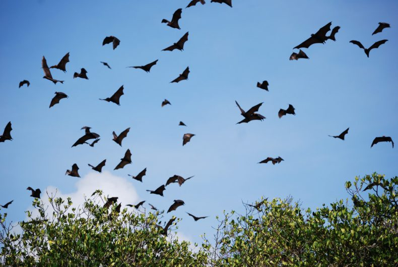Indonesie-Flores-Riung-flying-foxes